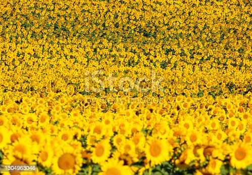 Fields of sunflowers growing in North Dakota in Dickinson, ND, United States