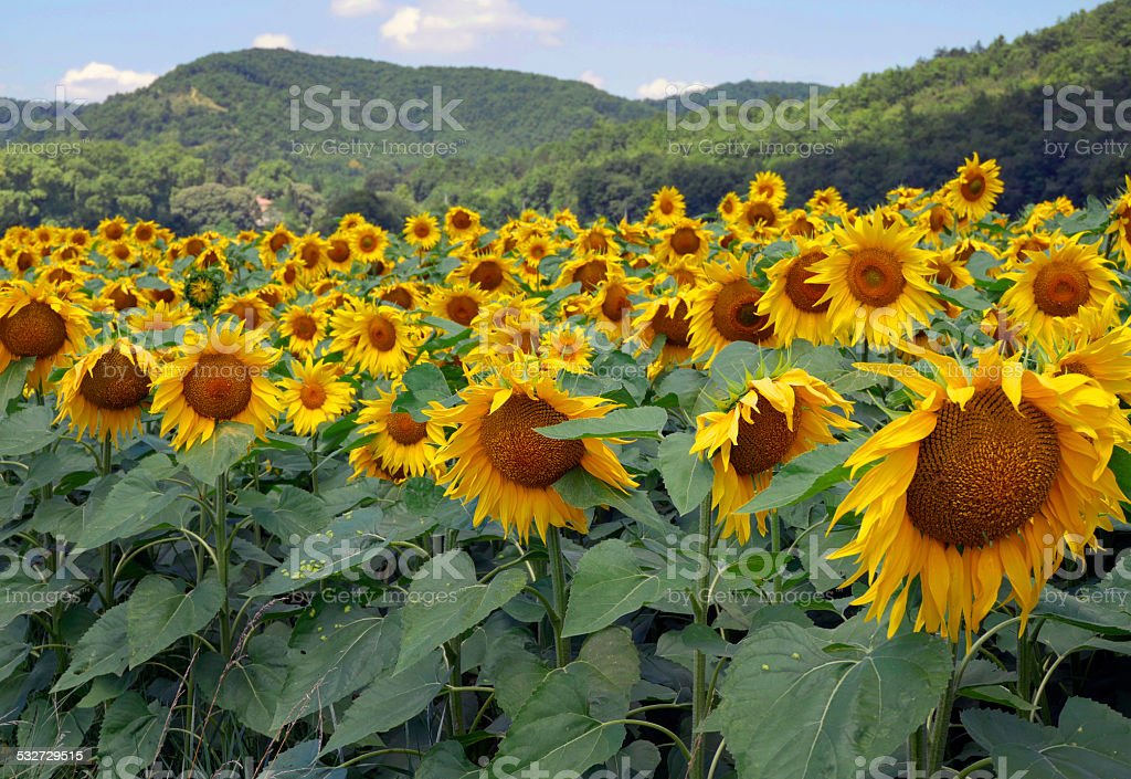 Fields of sunflowers, Mirepoix, France stock photo