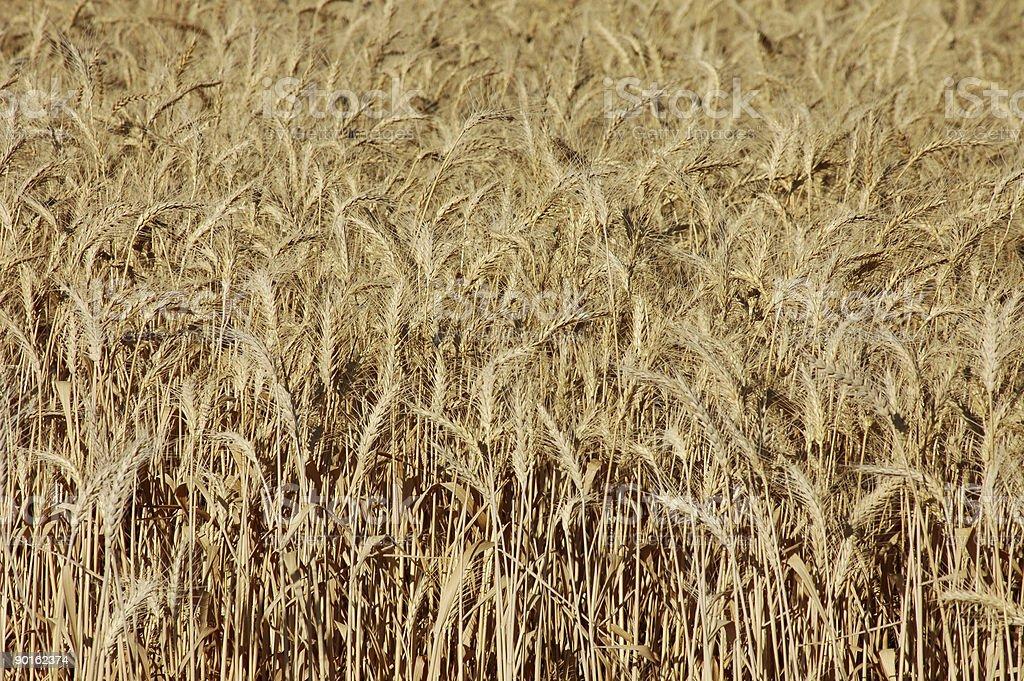 fields of wheat stock photo