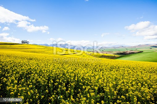Rolling hills covered with bright yellow canola flowers in the Overberg region of Western Cape Province, South Africa.