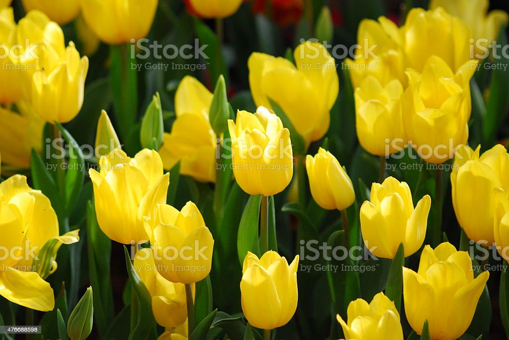 Fields of yellow tulips. stock photo