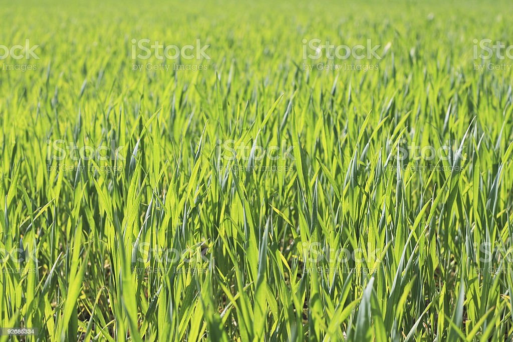 fields of young wheat royalty-free stock photo