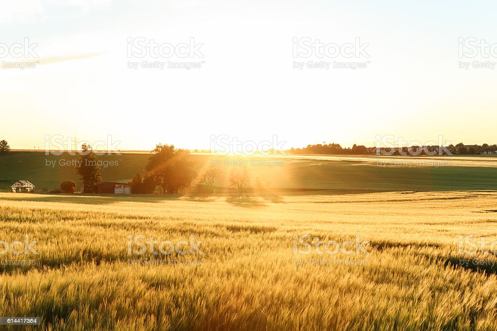 Fields turned into gold by the shining sun stock photo