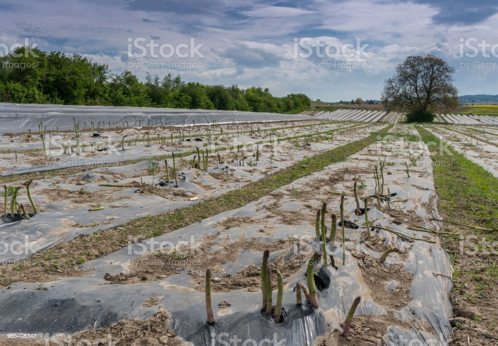 fields with asparagus beds covered in black foil and a wonderful hill and forest landscape behind royalty-free stock photo