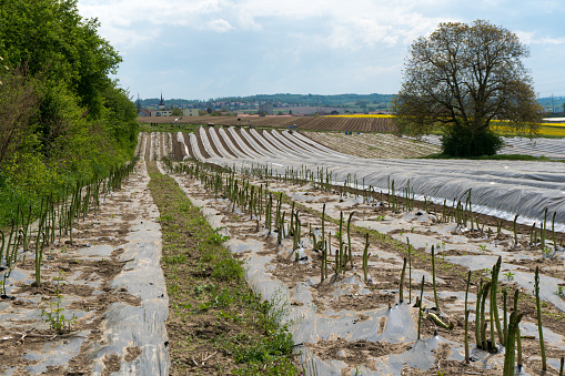 Fields With Asparagus Beds Covered In Black Foil And A Wonderful Hill And Forest Landscape Behind Stock Photo & More Pictures of Agricultural Field