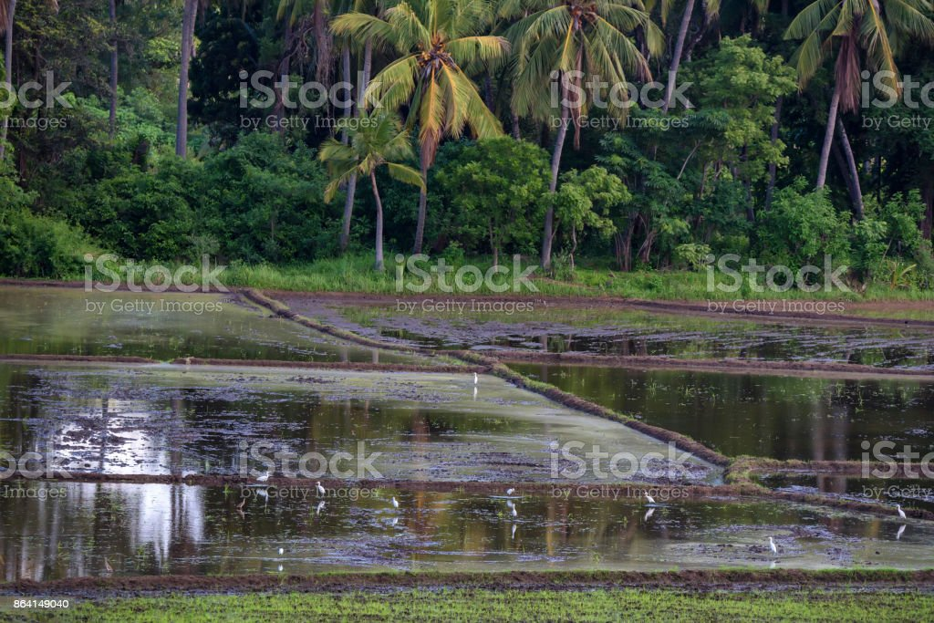 Fields with crops of rice in Sri Lanka royalty-free stock photo