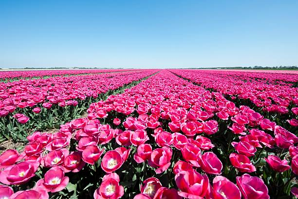 Fields with lots of red tulips in springtime​​​ foto