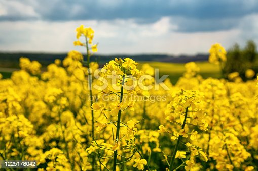 istock Fields with rapeseed on a sunny day. Rapeseed cultivation 1225178042