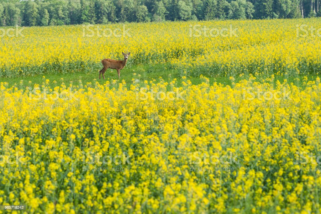 Fields With Yellow Flowers And A Roe Deer Stock Photo More