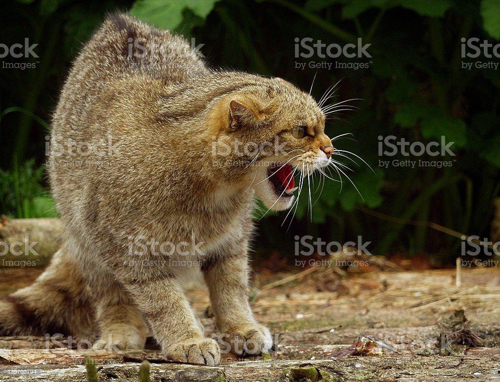 Fierce Feline royalty-free stock photo