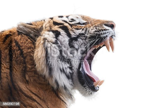 Roaring tiger isolated on white background