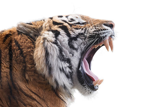 fierce tiger - tiger stock photos and pictures