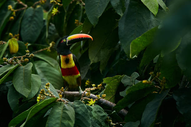 Fiery-billed Aracari, Pteroglossus frantzii, beautiful bird with big bill. Toucan from central Costa Rica. Wild animal in the nature habitat. stock photo