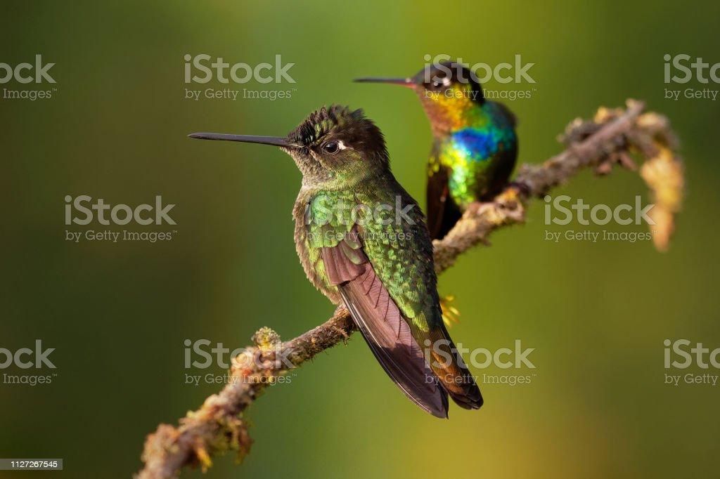 Fiery-throated Hummingbird - Panterpe insignis en groen Violet-oor - Colibri thalassinus - Royalty-free Antiek - Toestand Stockfoto