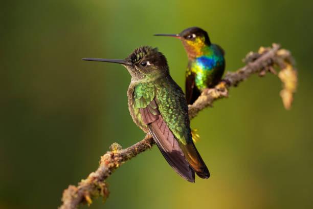 fiery-throated hummingbird - panterpe insignis en groen violet-oor - colibri thalassinus - ornithologie stockfoto's en -beelden