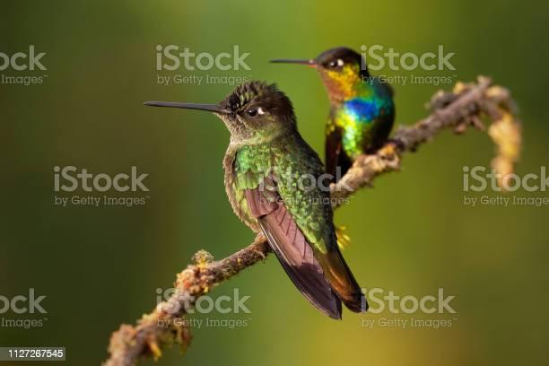 Fierythroated Hummingbird Panterpe Insignis En Groen Violetoor Colibri Thalassinus Stockfoto en meer beelden van Antiek - Toestand