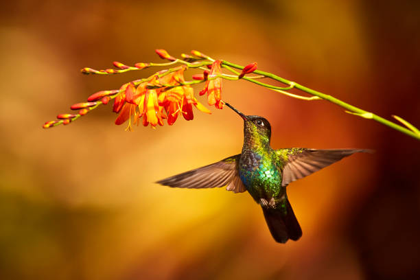 Fiery-throated Hummingbird, Panterpe insignis, shiny colour bird in fly. Bird drinks from crocosmia. Wildlife flight action scene from tropic forest. Mountain bright animal from Costa Rica stock photo