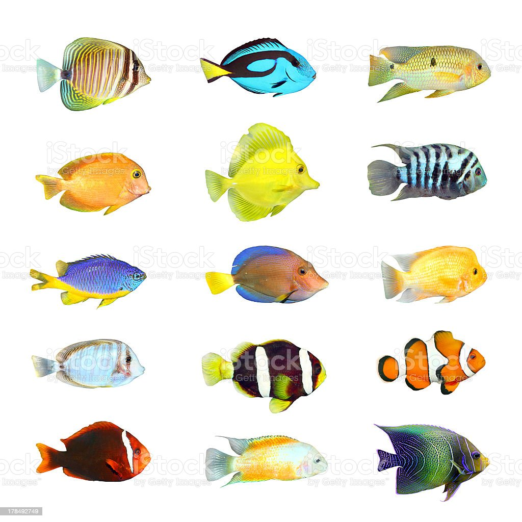 Fifteen colorful tropical fish on white background stock photo