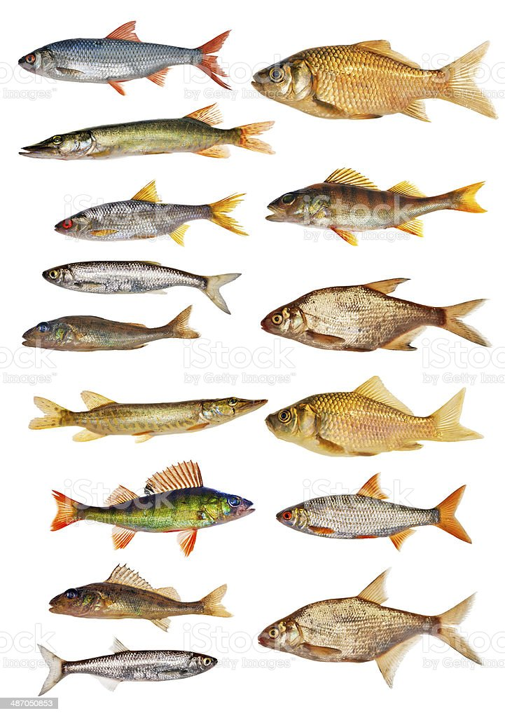 fifteen isolated freshwater fishes collection stock photo
