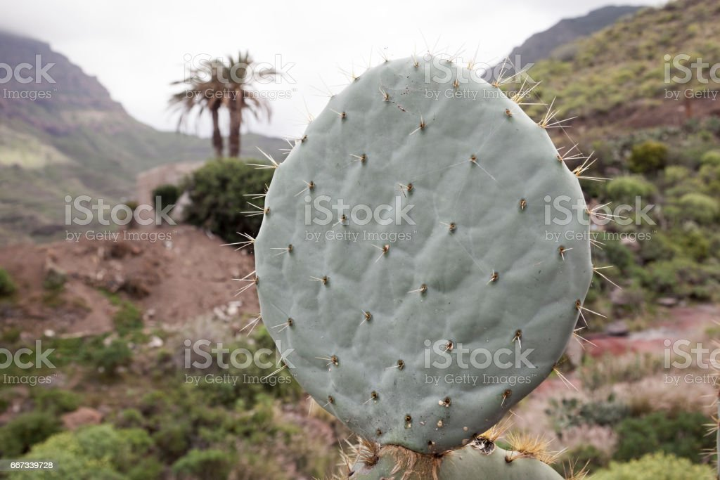 Fig Cactus stock photo