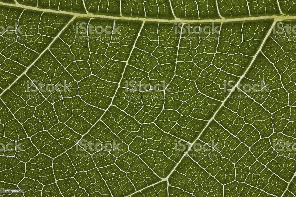 Fig Leaf Detail stock photo