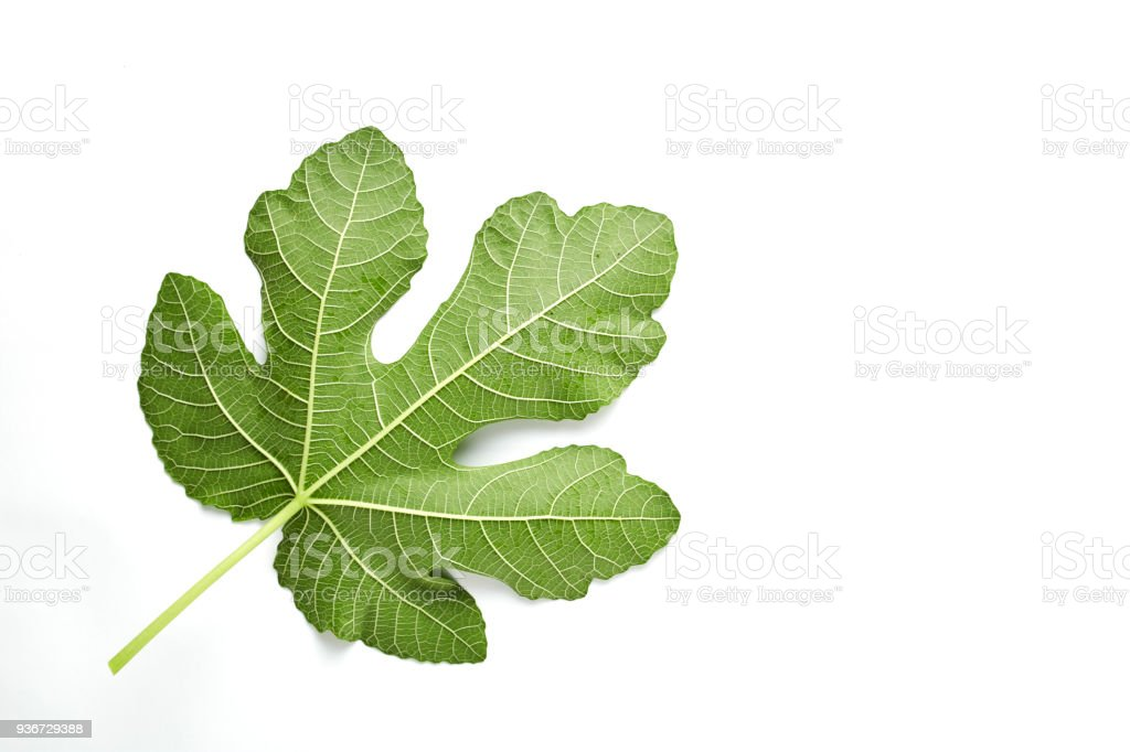 Fig leaf is isolated on the white stock photo