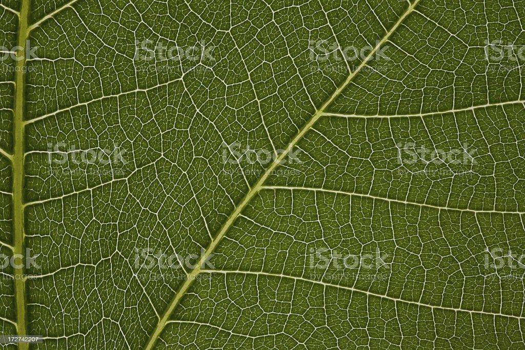 Fig Leaf Macro Horizontal royalty-free stock photo