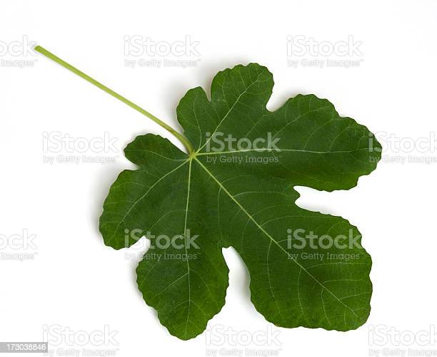 Single fig leaf on white background