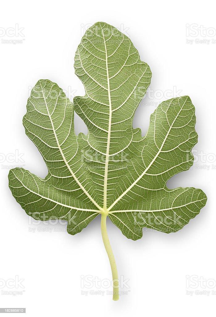 Fig leaf royalty-free stock photo
