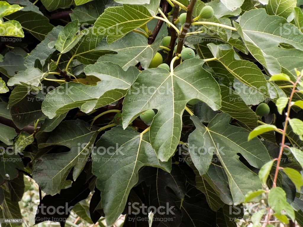 Fig leaves Fig leaves with green fruits figs. 2015 Stock Photo