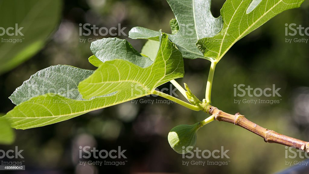 Fig on a tree stock photo