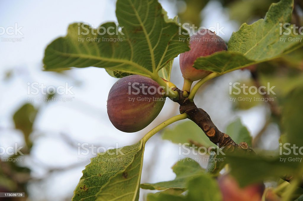 fig on tree stock photo