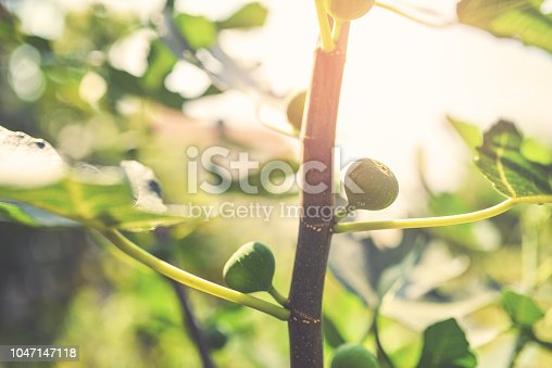 Ripe fig fruits on the tree