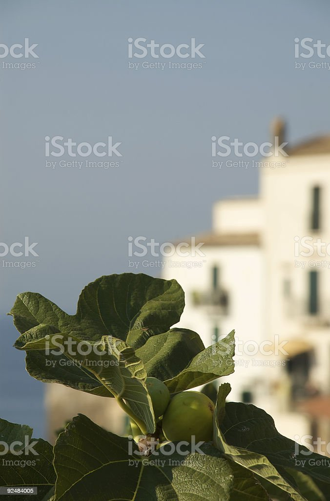 Fig plant royalty-free stock photo