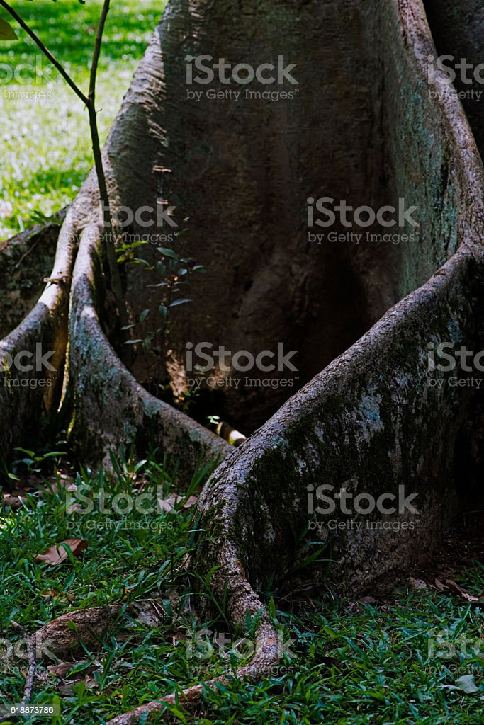 Fig root stock photo