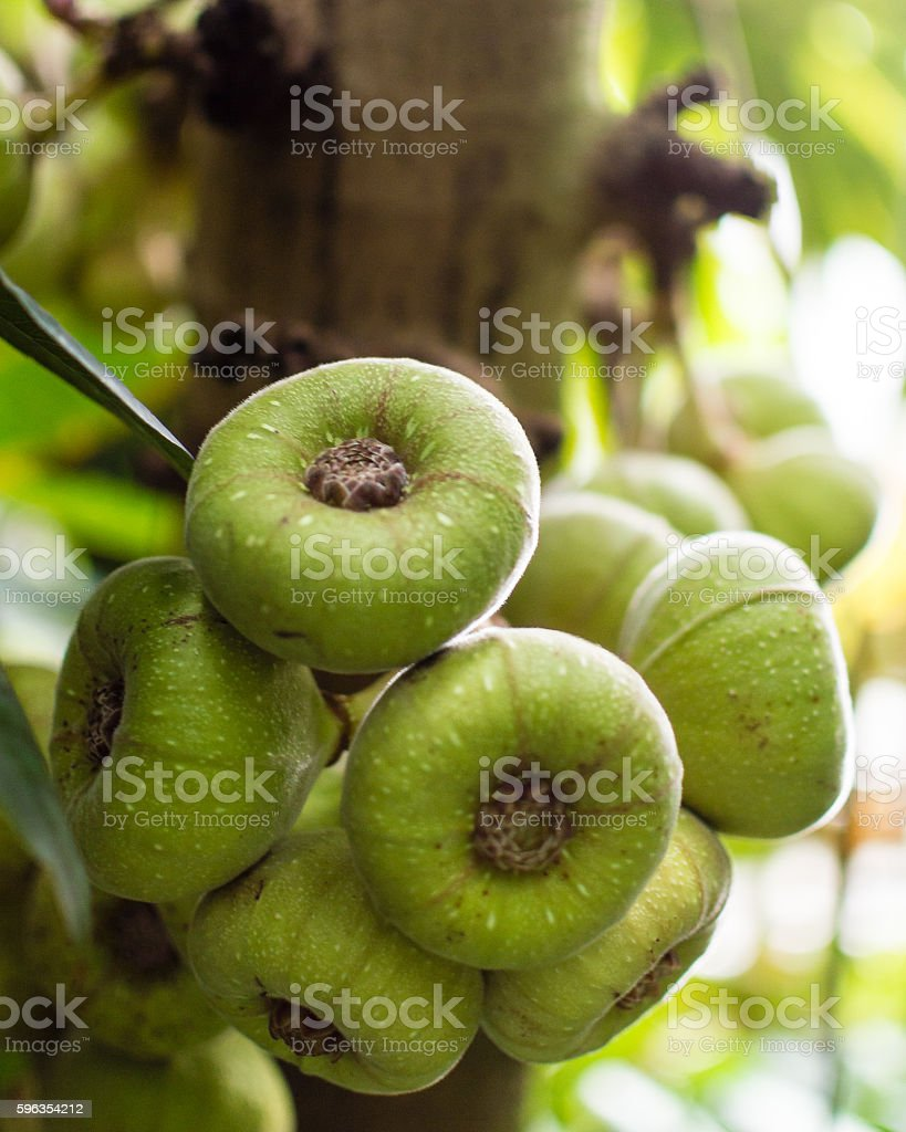 Fig tree A Green figs on the tree royalty-free stock photo