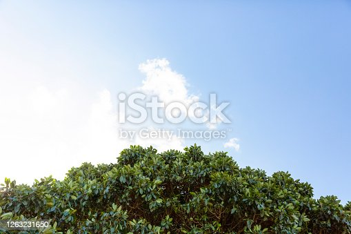 Fig tree against sky, beautiful nature background with copy space, full frame horizontal composition