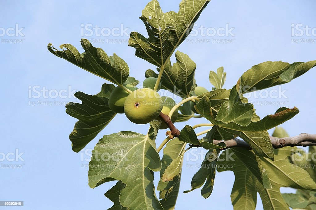 Fig Tree Branch - Royalty-free Branch - Plant Part Stock Photo