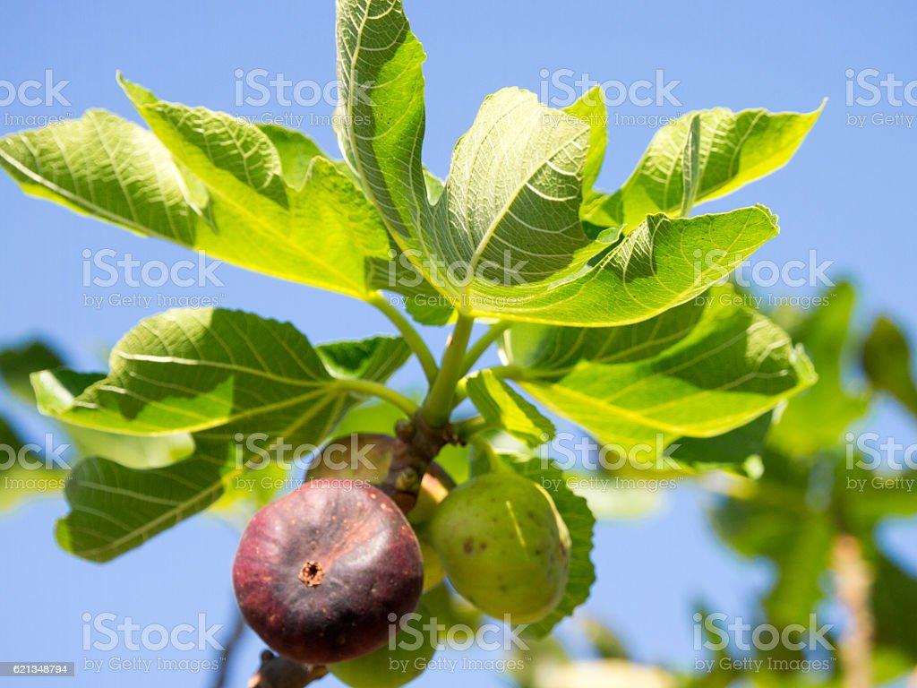 Fig tree in autumn stock photo