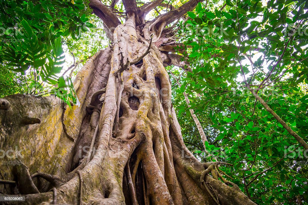 Fig Tree in Cape Tribulation rainforest stock photo
