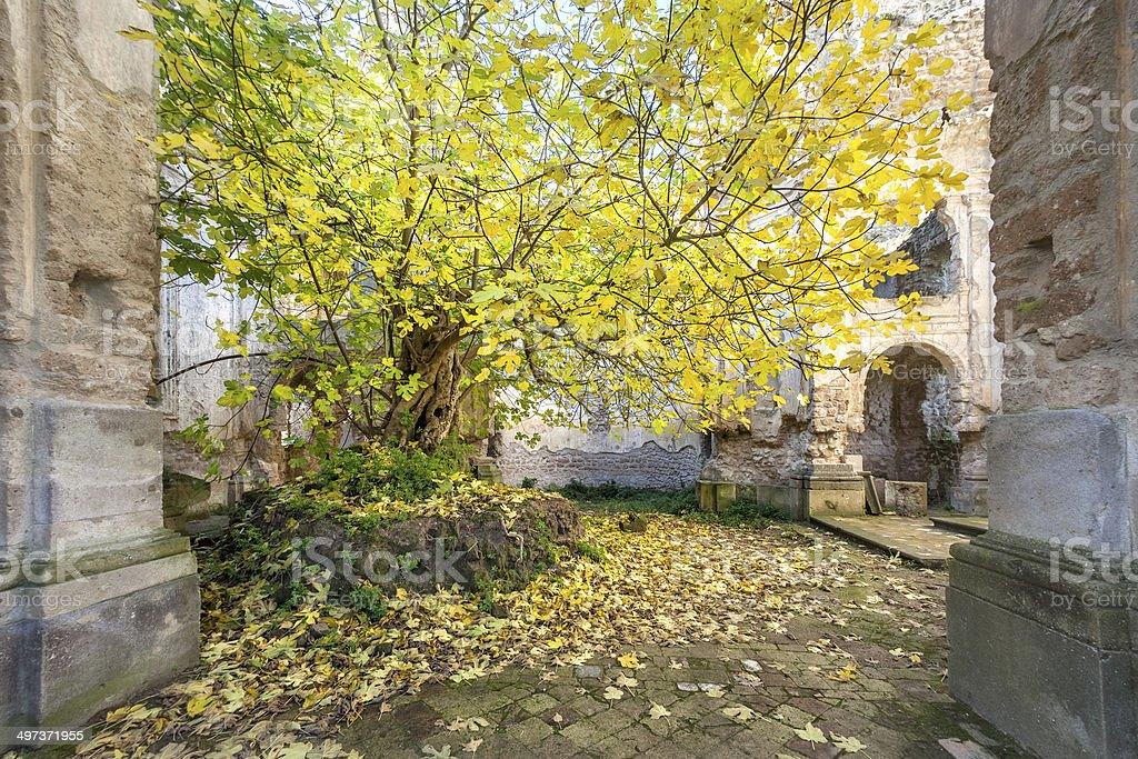 Fig tree inside old ruin, Antica Monterano, Lazio Italy royalty-free stock photo