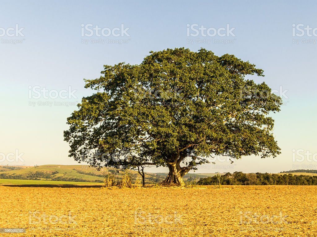 Fig tree royalty-free stock photo
