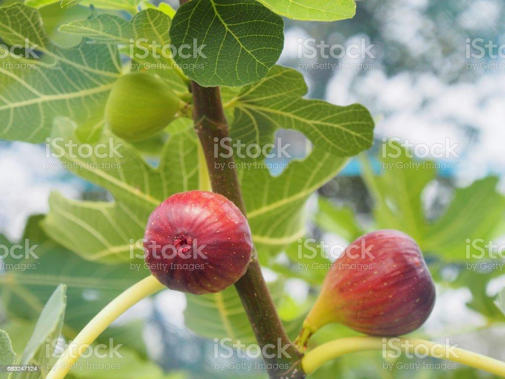 無花果樹 免版稅 stock photo