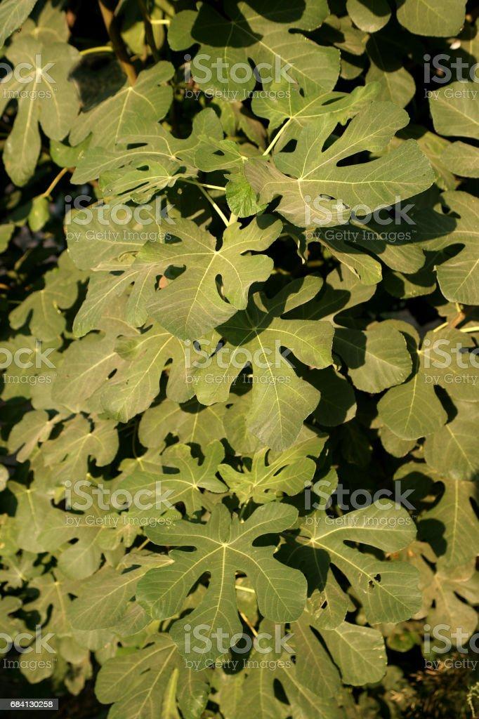 Fig tree royaltyfri bildbanksbilder