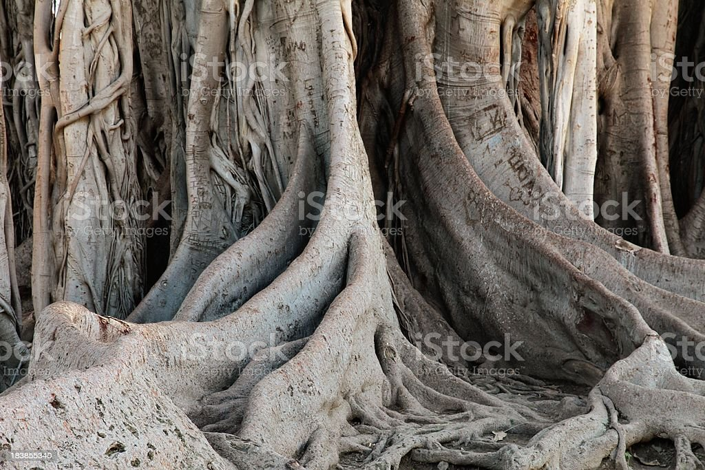 Fig tree roots stock photo