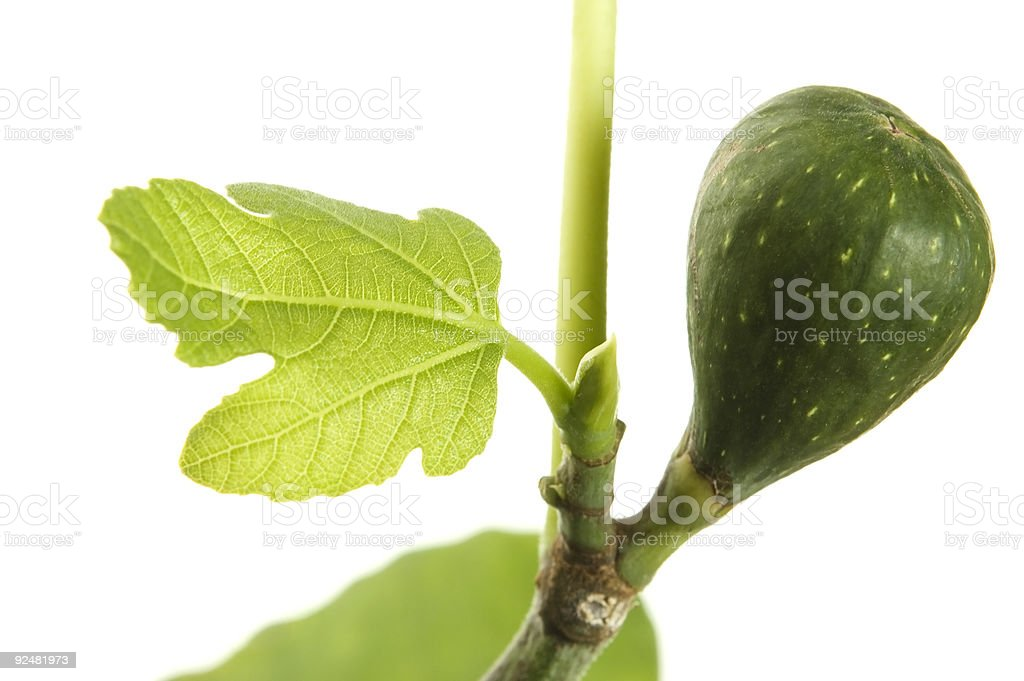 fig tree with fruit royalty-free stock photo