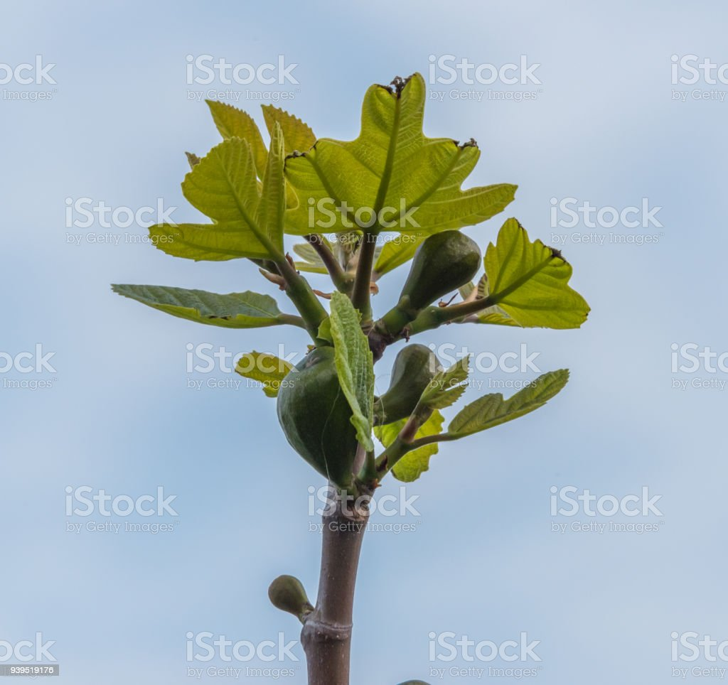 Fig Tree with New Figs stock photo