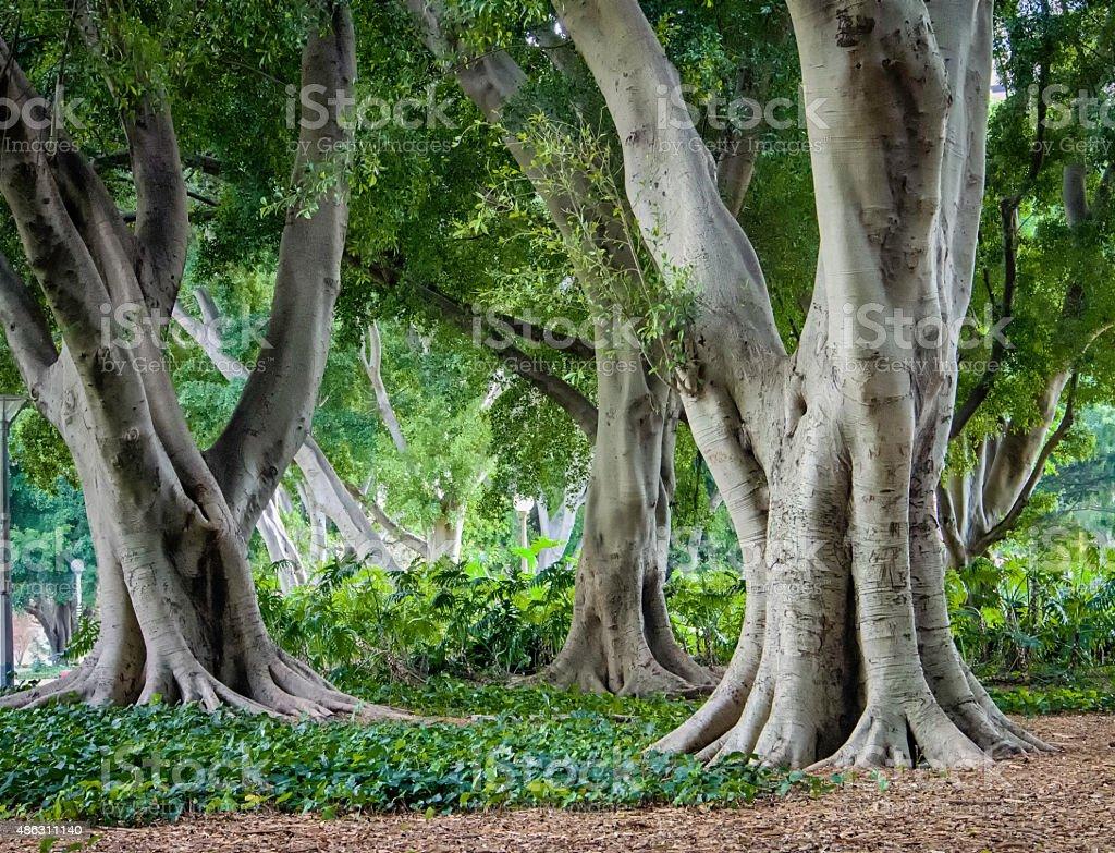 Fig trees, Hyde Park, Sydney stock photo