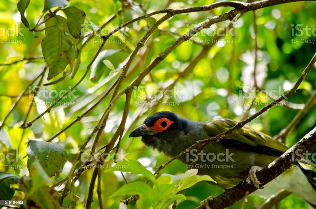 figbird stock photo