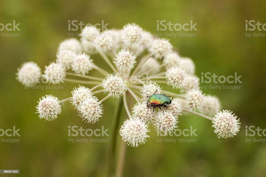 figeater beetle royalty-free stock photo